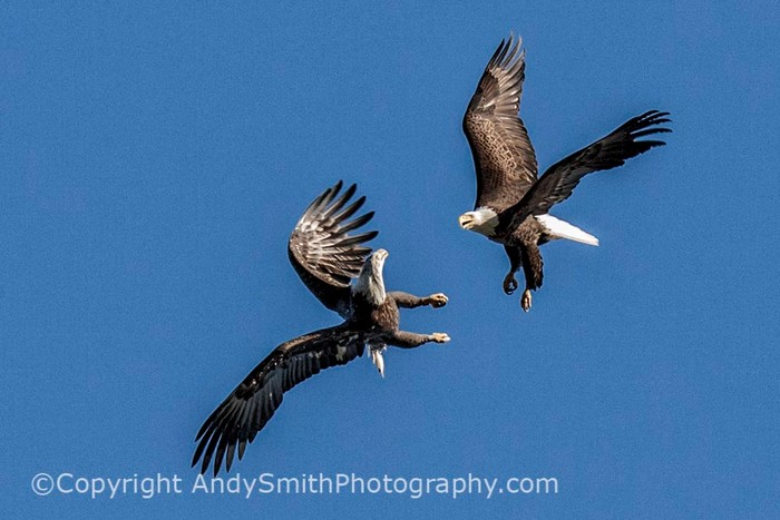 fine art photograph of Bald Eagles playing at the Conowingo Dam