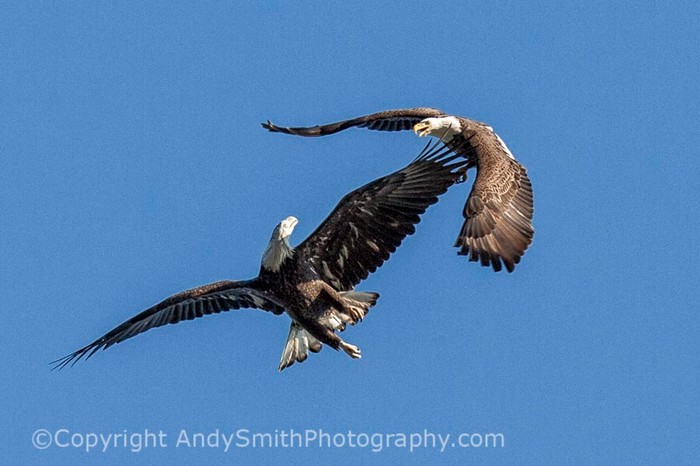 fine art photograph of Juvenile and Adult Bald Eagle Playing at the Conowingo Dam