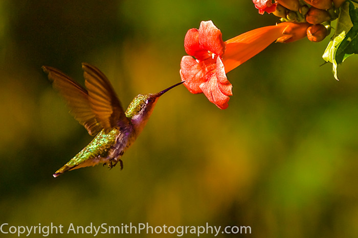 fine art photograph of Ruby -throated Hummingbird Feeeding