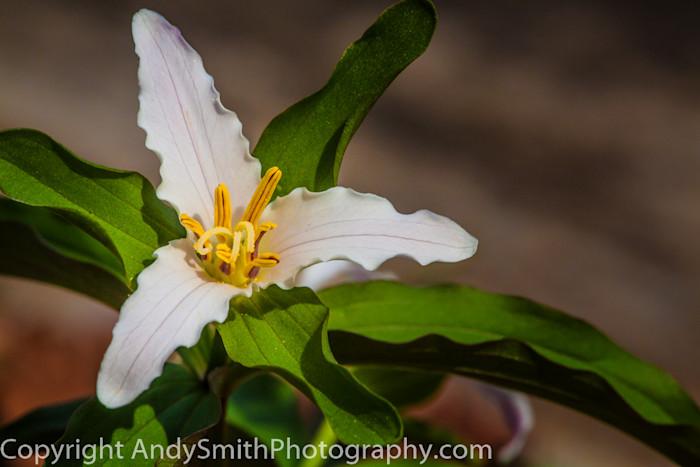 fine art photograph. of Snow Trillium, Trillium nivale