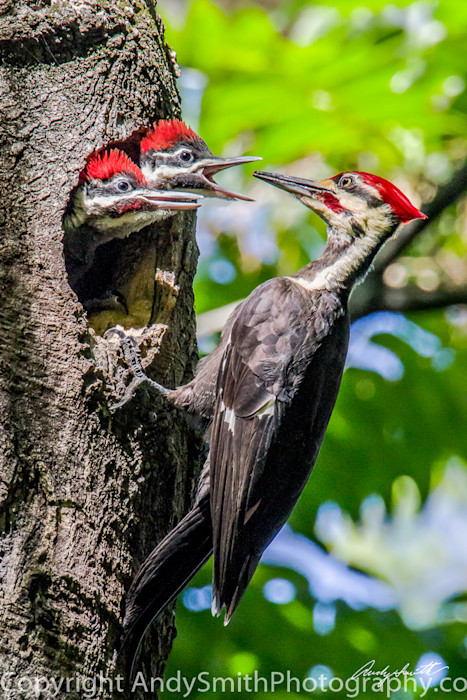 fine art photograph of Pileated Woodpecker Male Feeding Young