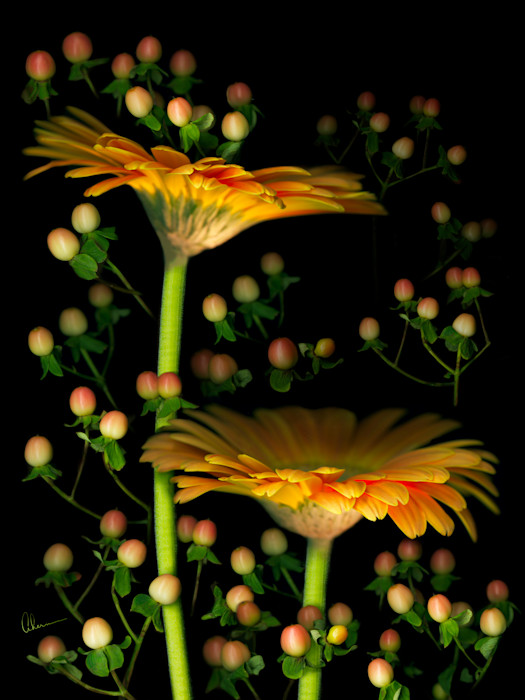 Gerbera Daisies with Hypericum art print. Wall art by Mary Ahern the Artist.