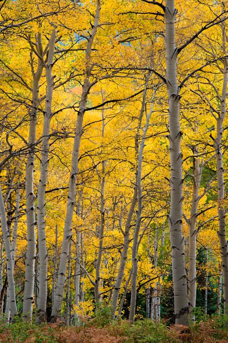 Golden-canopy_sbym3o