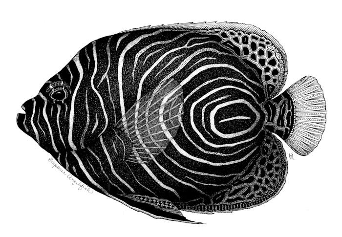 Emporer_angelfish_nucbpq
