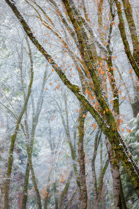 Black_oaks_and_snowy_mist_qvlvy1