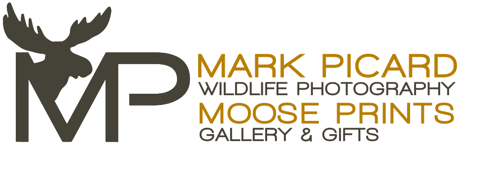 Mark Picard Wildlife Photography Moose Prints Gallery and Gifts