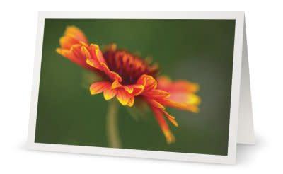 R Indian Blanketflower F