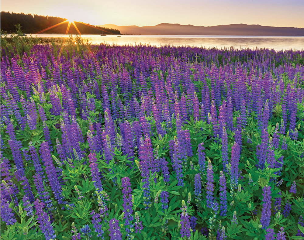 June  Sunrise on Tahoe Lupine