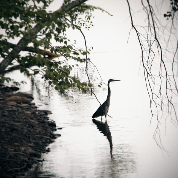 Standing Heron Image