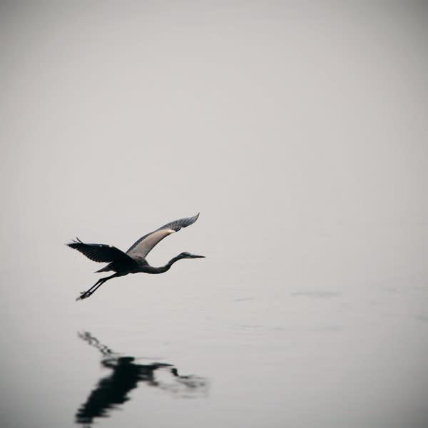 Heron In Flight Image