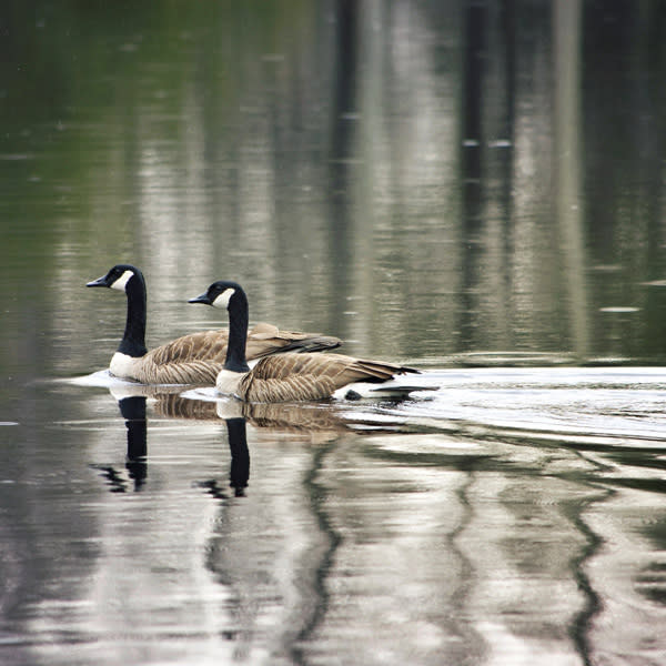 Swimming Geese Image