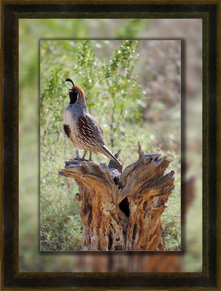 Quail Male Stump 12x18 to 16x22 Leather