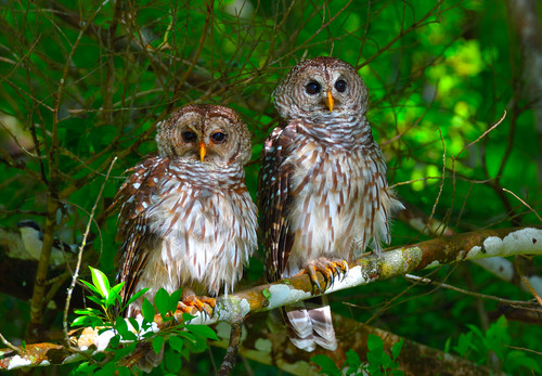 39 buddies for life 39 barred owl pair for Owl fish store