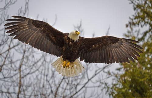 Bald eagle ll011 d5zbhc