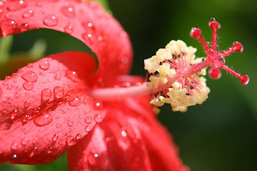 Hibiscus raindrops ww017 xylezj
