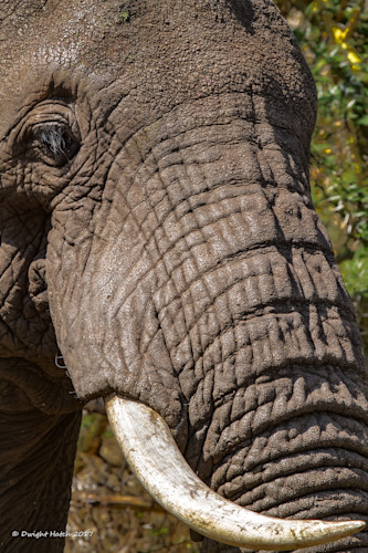 Hatch_africanelephant_3917_bsxqeq