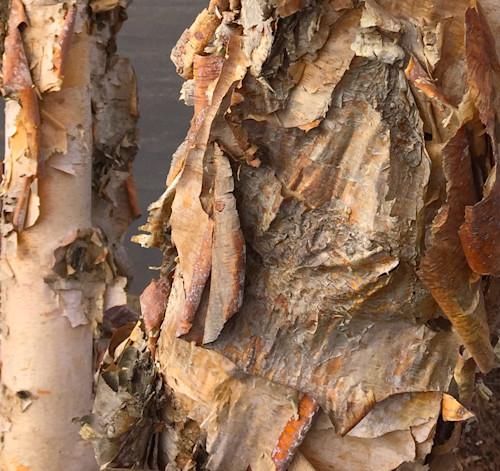 Gnarly river birch bark  jmmason 150res qmxfhv