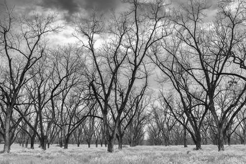 Trees  52 ayvaic