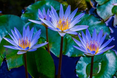Water lily trio ww29 kf82ox