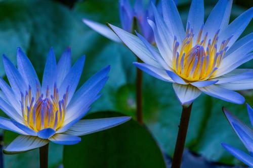 Water lily pair ww28 x4biab
