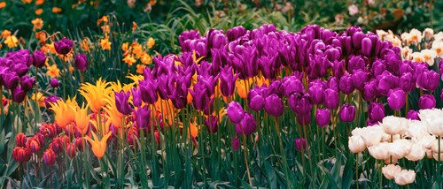 River_of_tulips_bpprint_nbqmoh