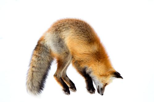 Foxmouse7 cp2j0j