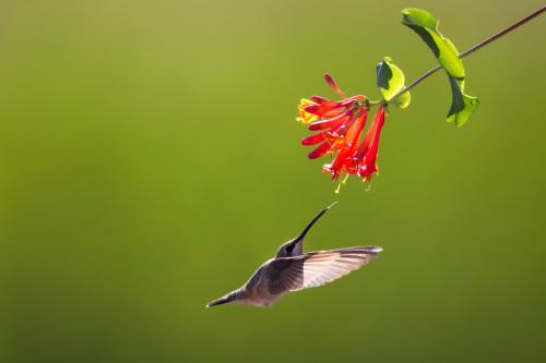 Hummingbird8 wzlrhp