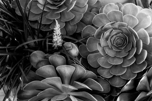 Succulents-0246_copy_wvtvbz