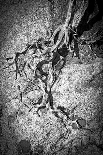 Gnarled_root_tree_root_clinging_to_rock_black_and_white_photo_vertical_artistic_nature_drift_wood_sculpture_wcrczu