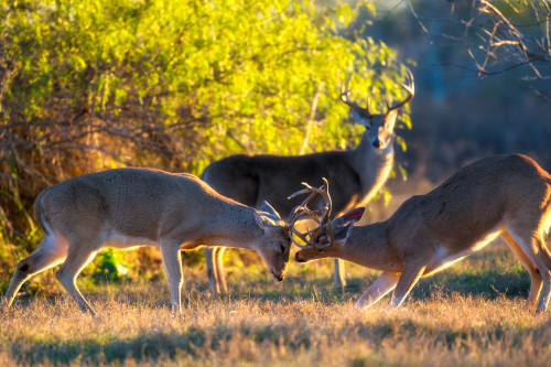 Bucks dufigf