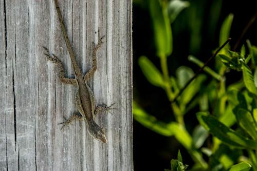Florida lizard   dsc3407 lo5ykv