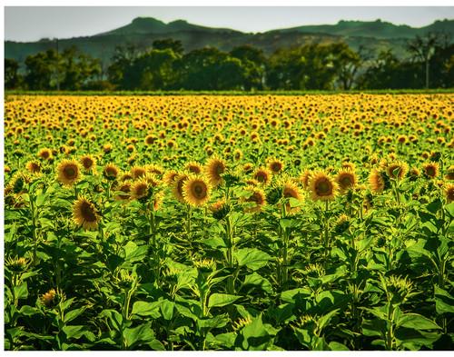 Sunset sunflowers2 hsdmns