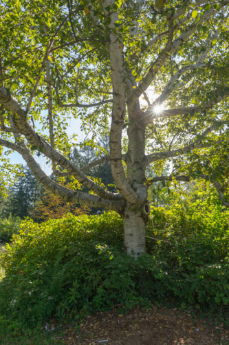 Doyle tree bgzc3k