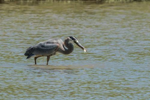 Great blue heron lunchtime ig11jw