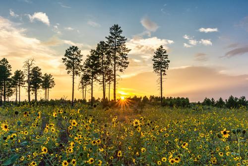 Sunflower sunset 01 f0ff2n
