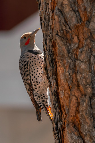 Norther flicker 1 yhofgh