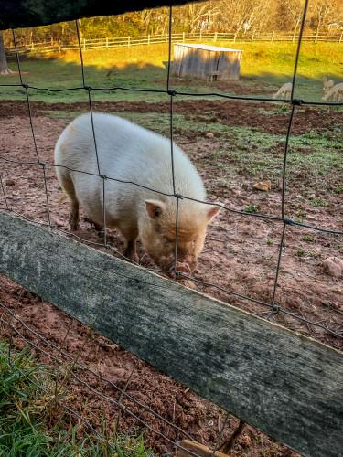 Gaf animals 05 pig wet morning zpj1mz