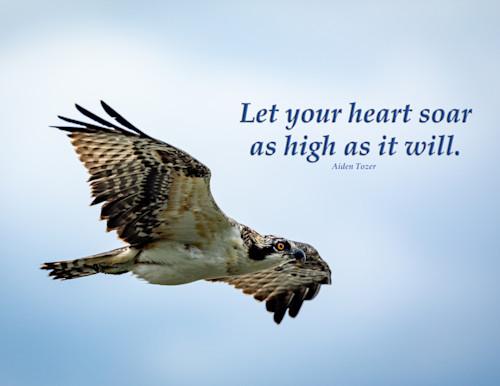 Let your heart soar as high as it will   osprey koxgov