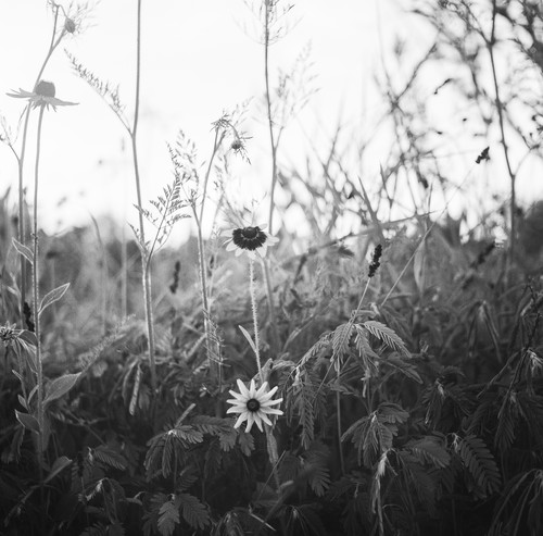 Virginia daisy cub1kx
