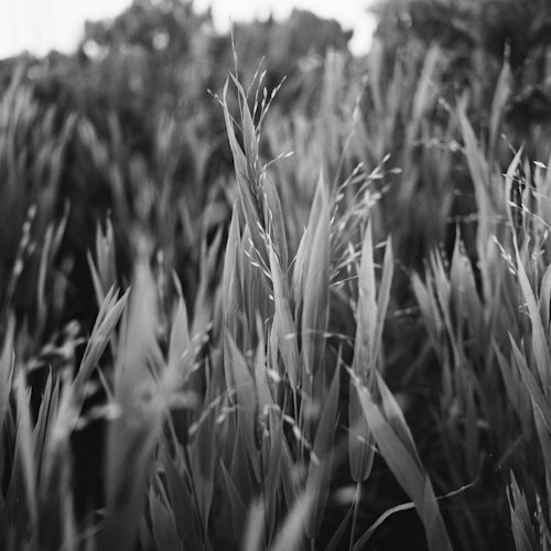 Virginia grass mhgz4u