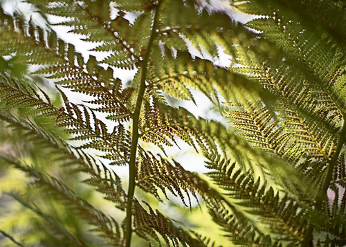 California fern 2 bxg3dm
