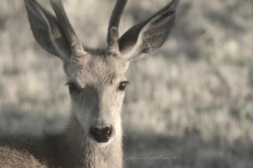 Deer close up s jaygcs