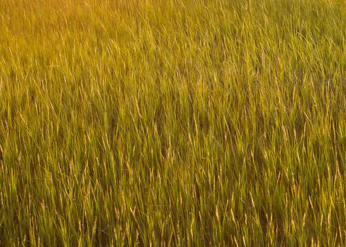 Carolina marsh grass gfcb3n