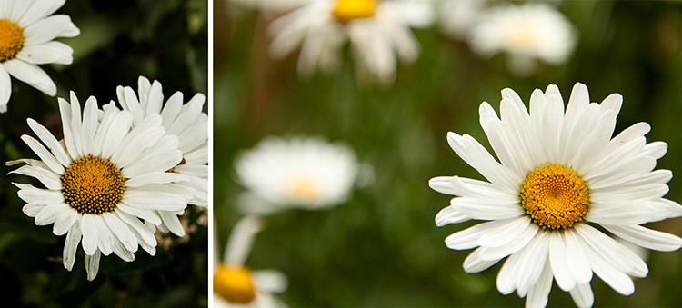 Photos of the Daisies growing in Jenny Goring's home garden. Photo Credit: Erin Settje Photography (c)2016