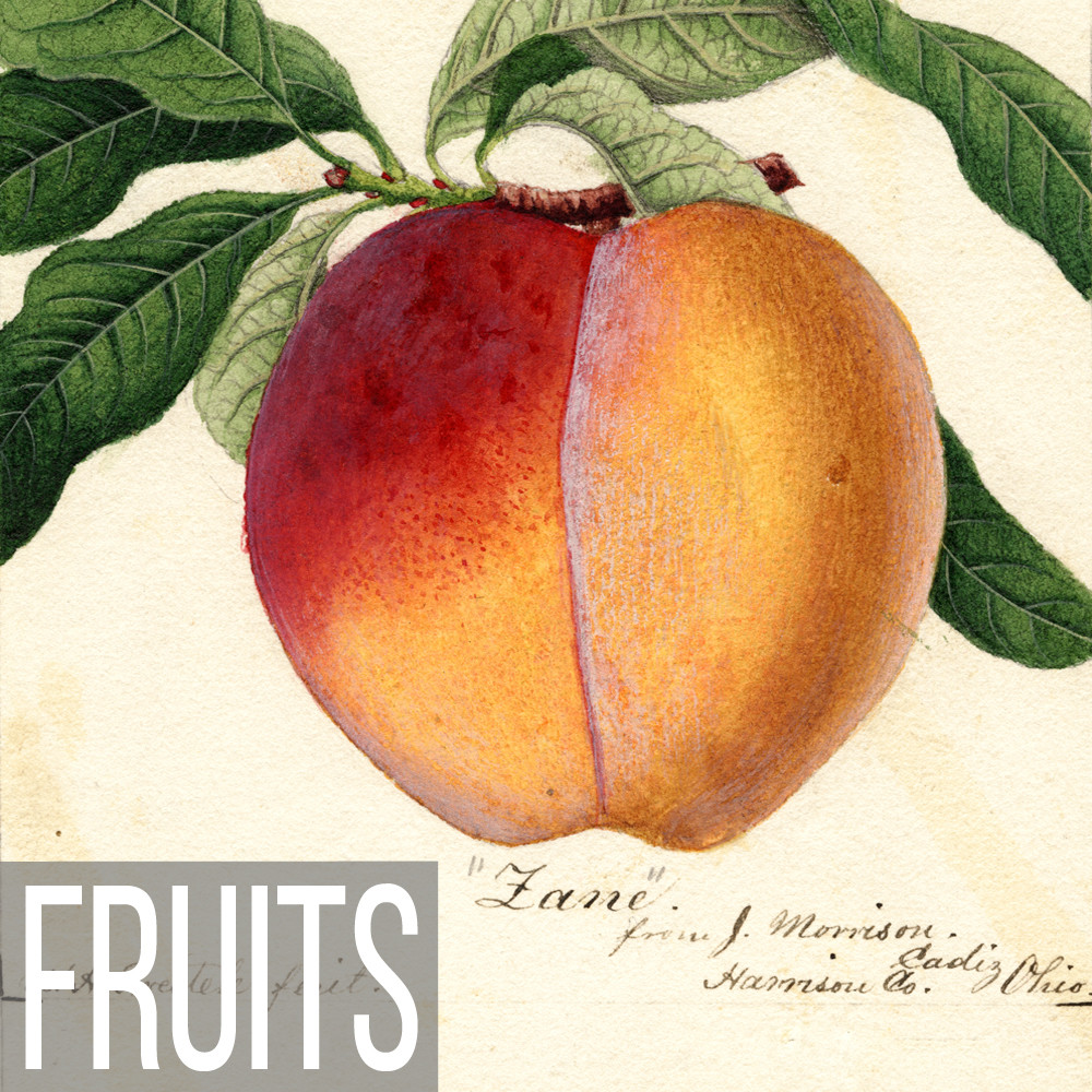 Botanical Fruit illustrations on canvas, paper, poster and note cards