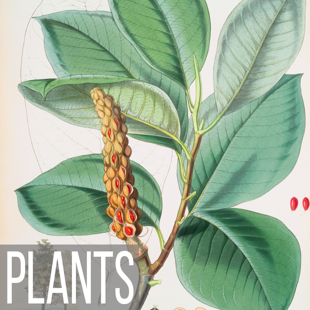 Botanical plant vintage illustrations