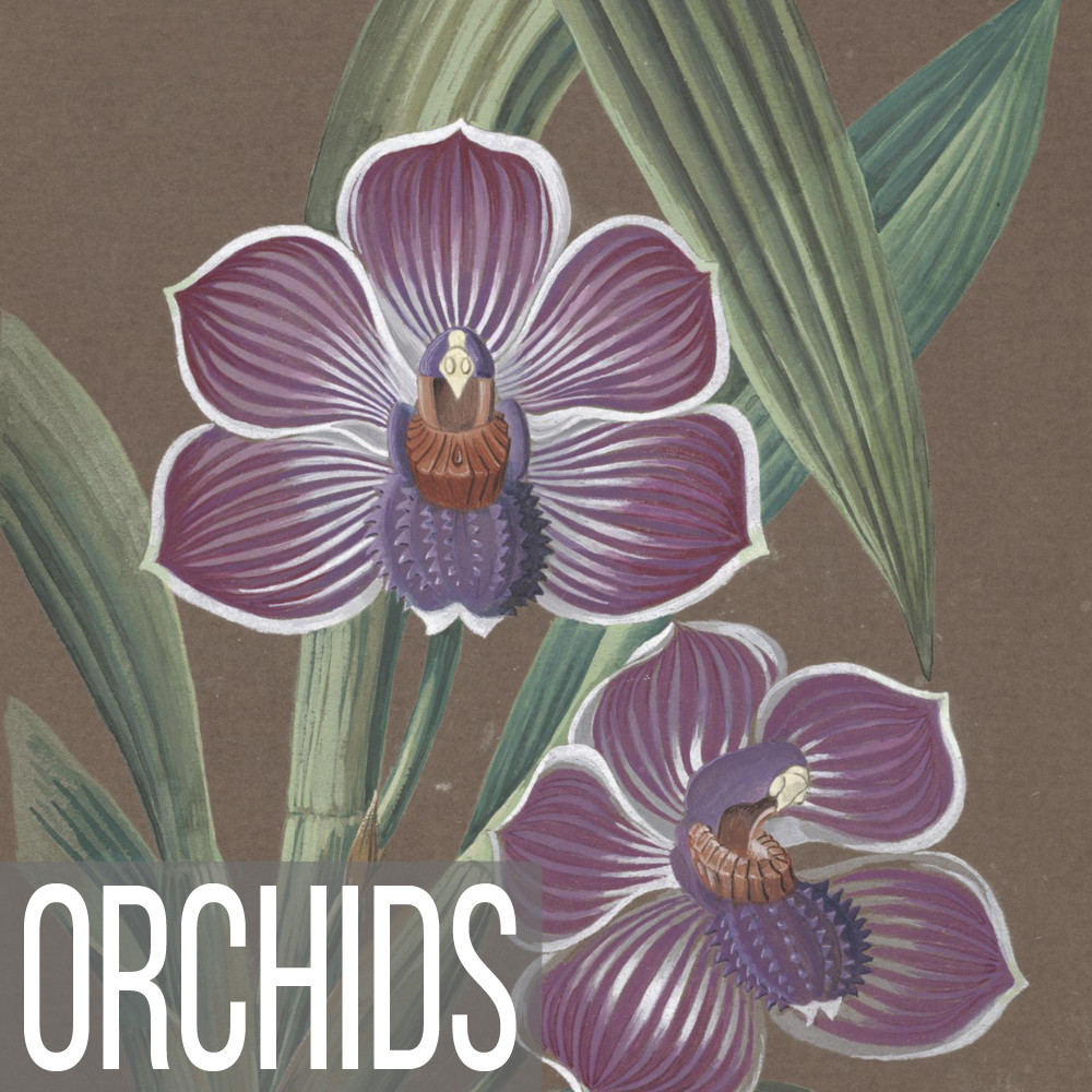 Stunning orchid illustration collection on canvas, paper, poster and note cards
