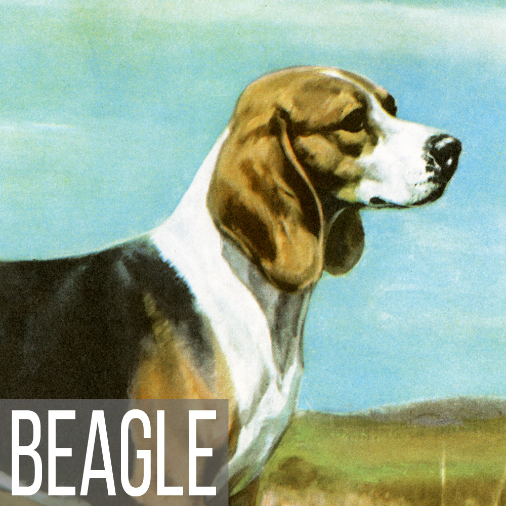 Beagle art print reproductions