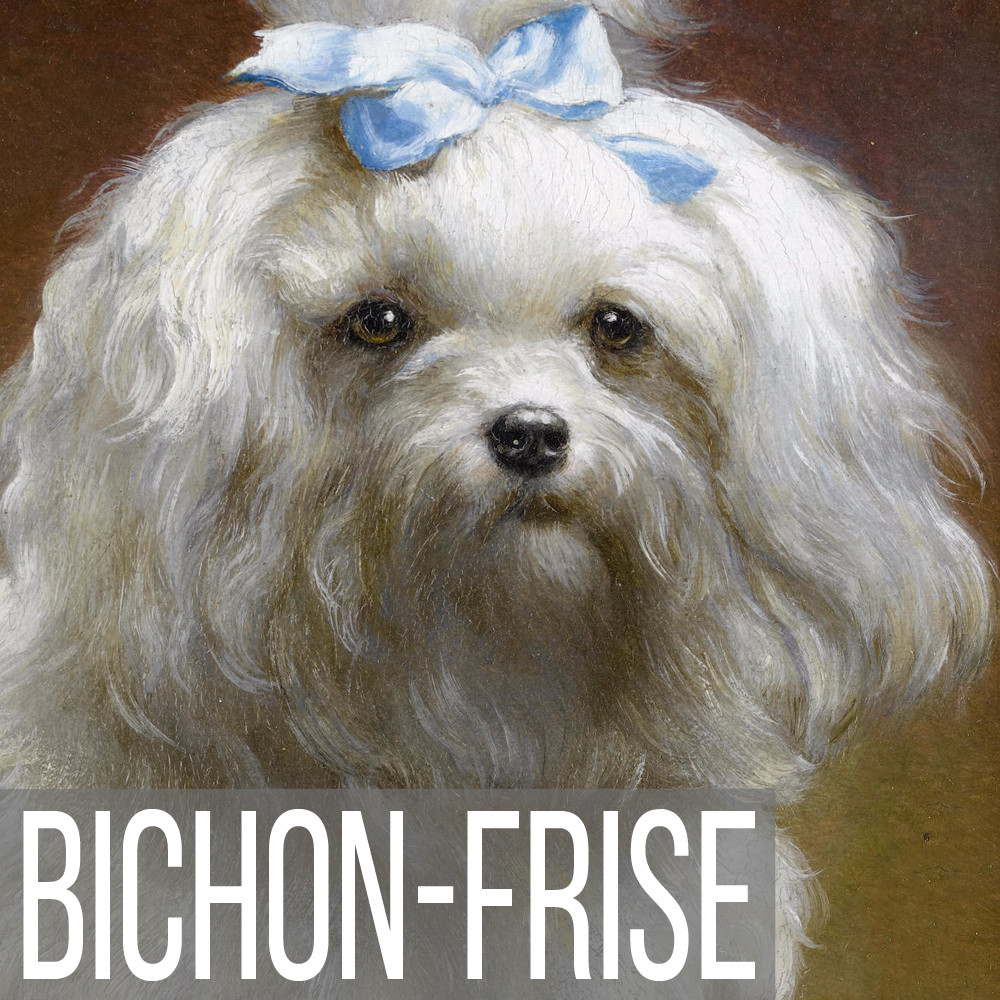 Bichon Frise art print reproductions