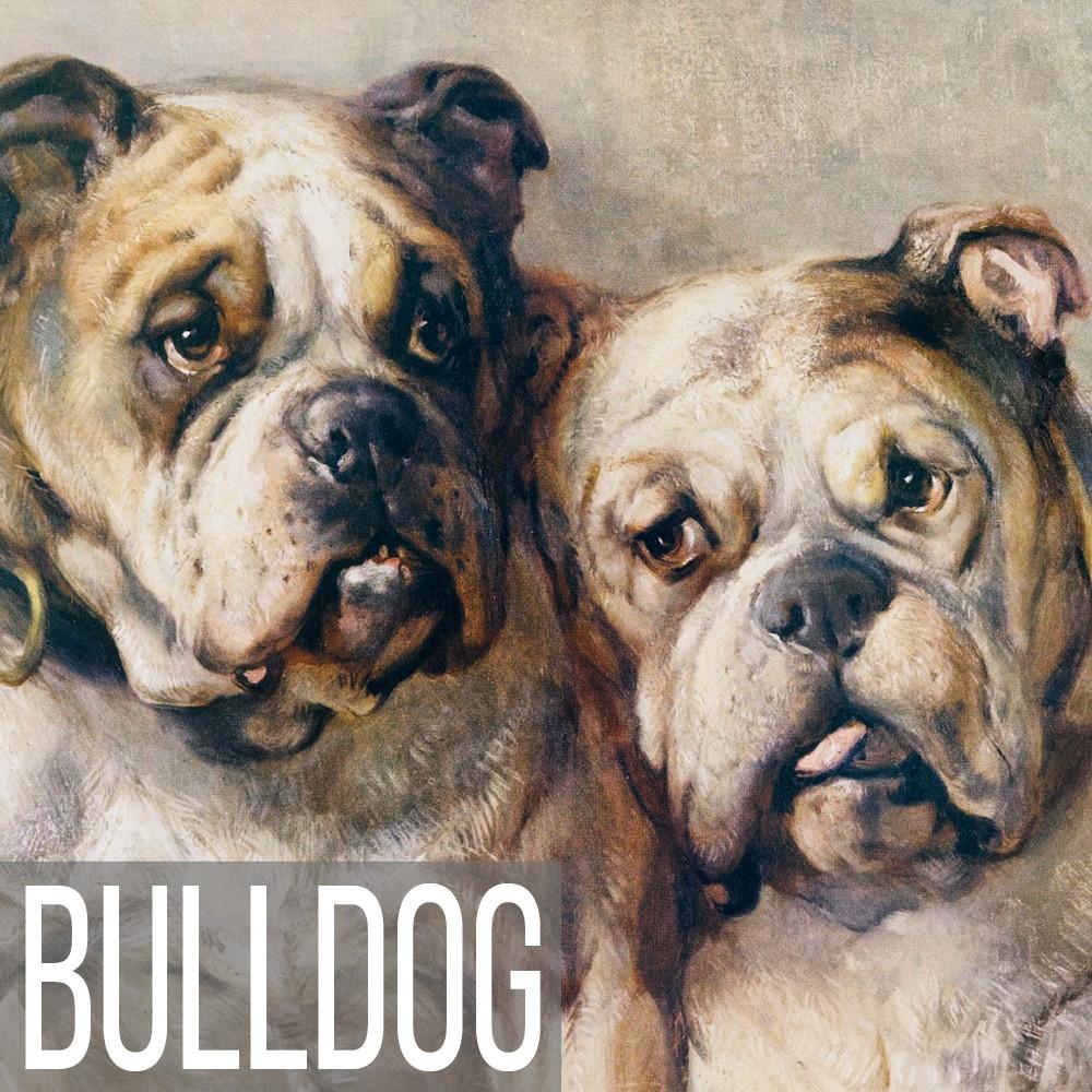 Bulldog art print reproductions